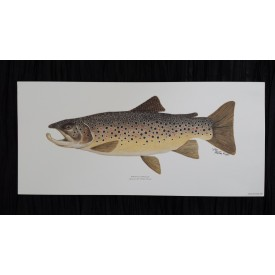 Brown Trout Print