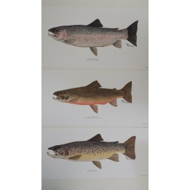 Set of 3 Trout Prints