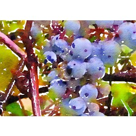 Wild Grapes Photo