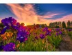 Iris Farm Sunset on Canvas