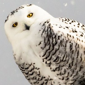 Snowy Owl Say What